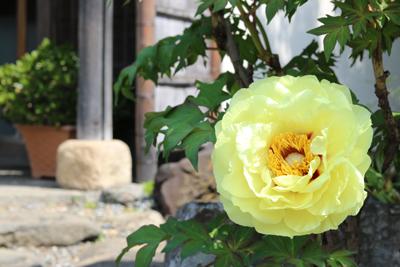 牡丹の花が咲きました